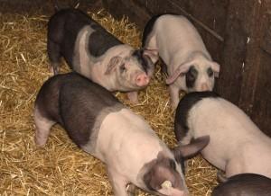 Sattelschweinchen